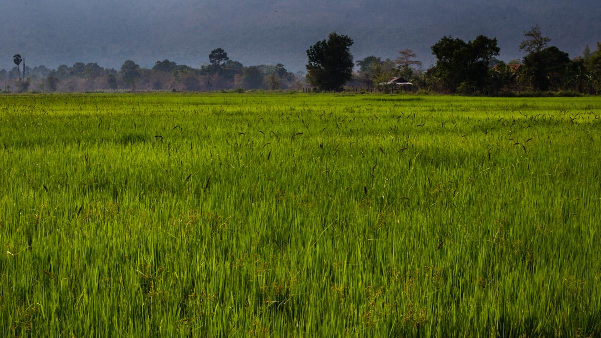 Рисовые поля около Паксе