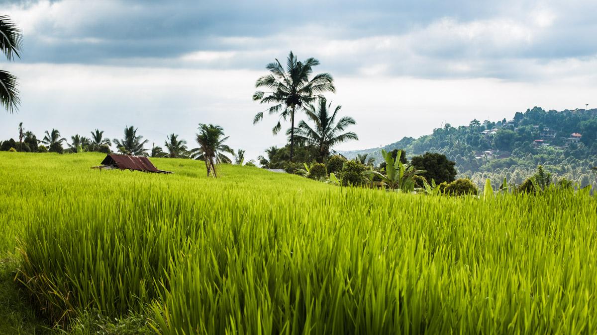 Rizières près de Munduk, Bali