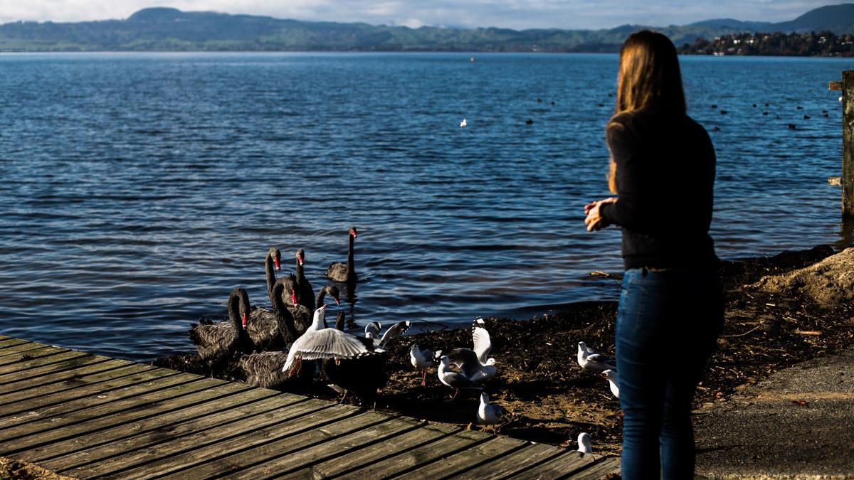 Собрала всех птиц в округе,, Озеро Роторуа
