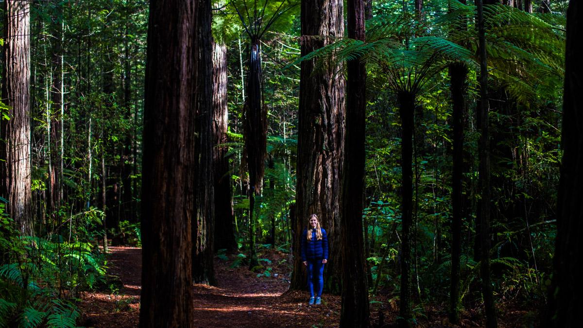 Лес секвой Redwood