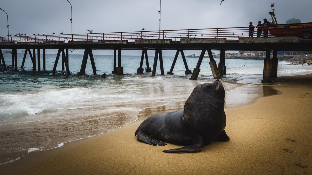 Le plus beau des lions de mer, Valparaíso