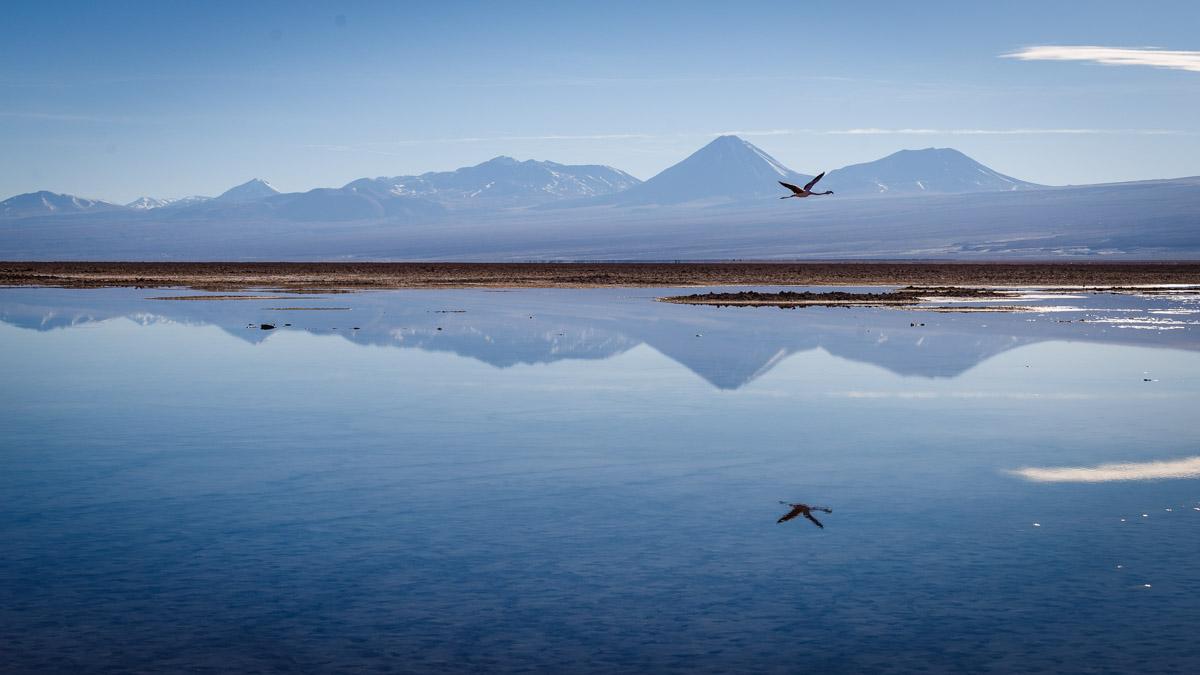 Flamant rose, lagune Chaxa, désert d'Atacama