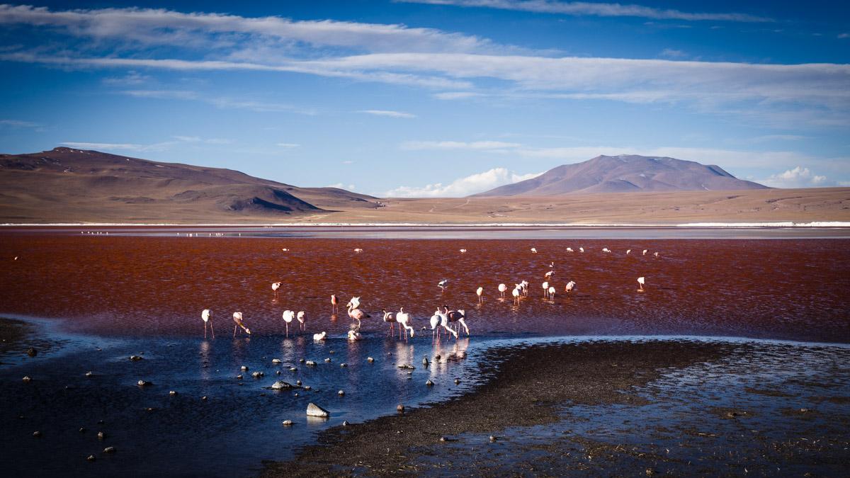 Flamants roses dans la Lagune Colorée