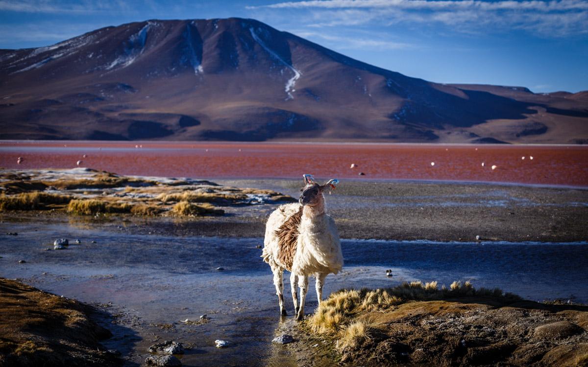 Lama décoiffée, Lagune Colorée