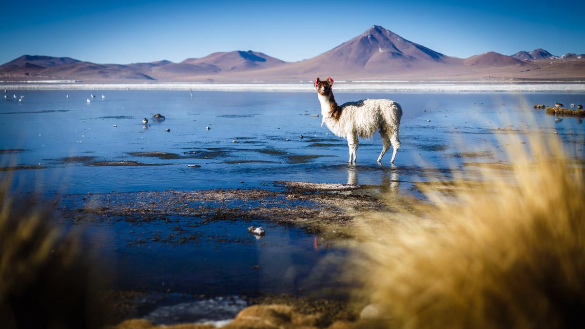 Lama se réchauffe les pattes dans les sources chaudes de la Lagune Colorée
