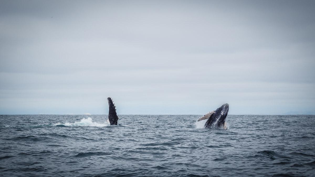 """Une baleine et son """"petit"""", Puerto Lopez"""