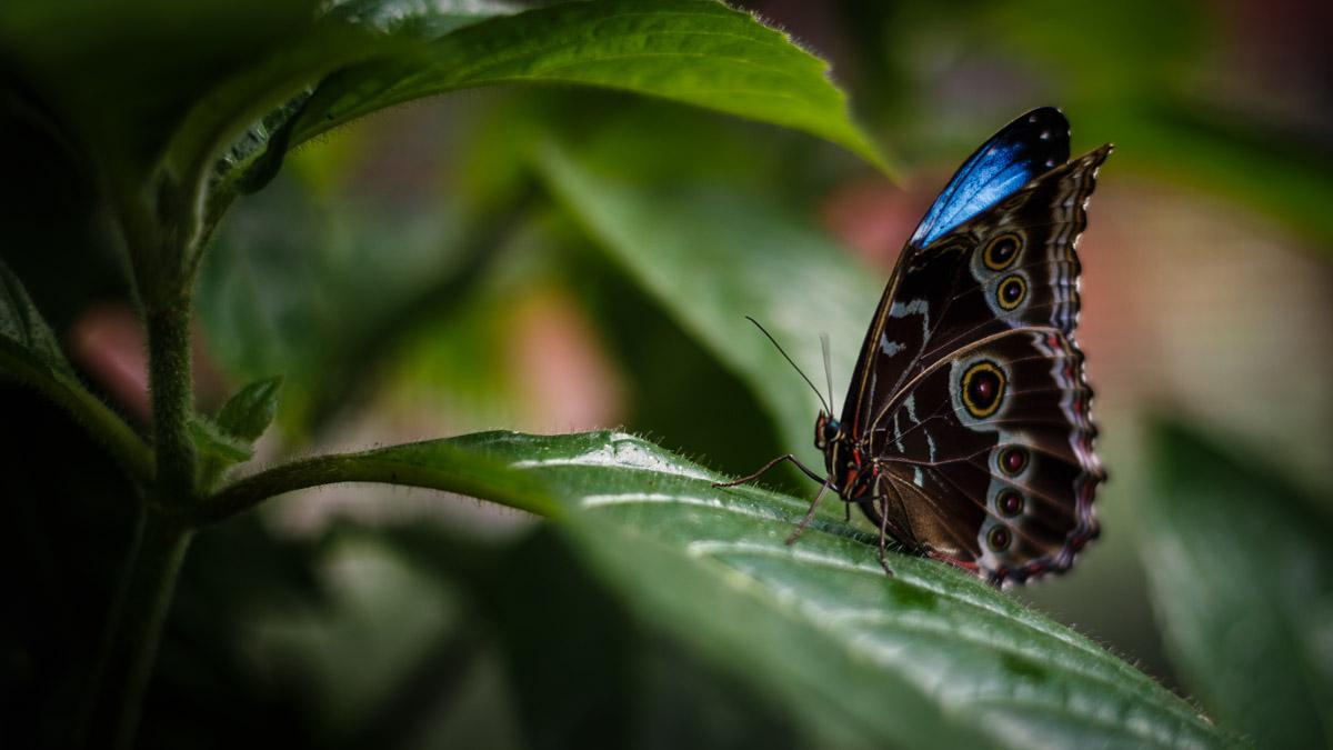 Les papillons de Mindo