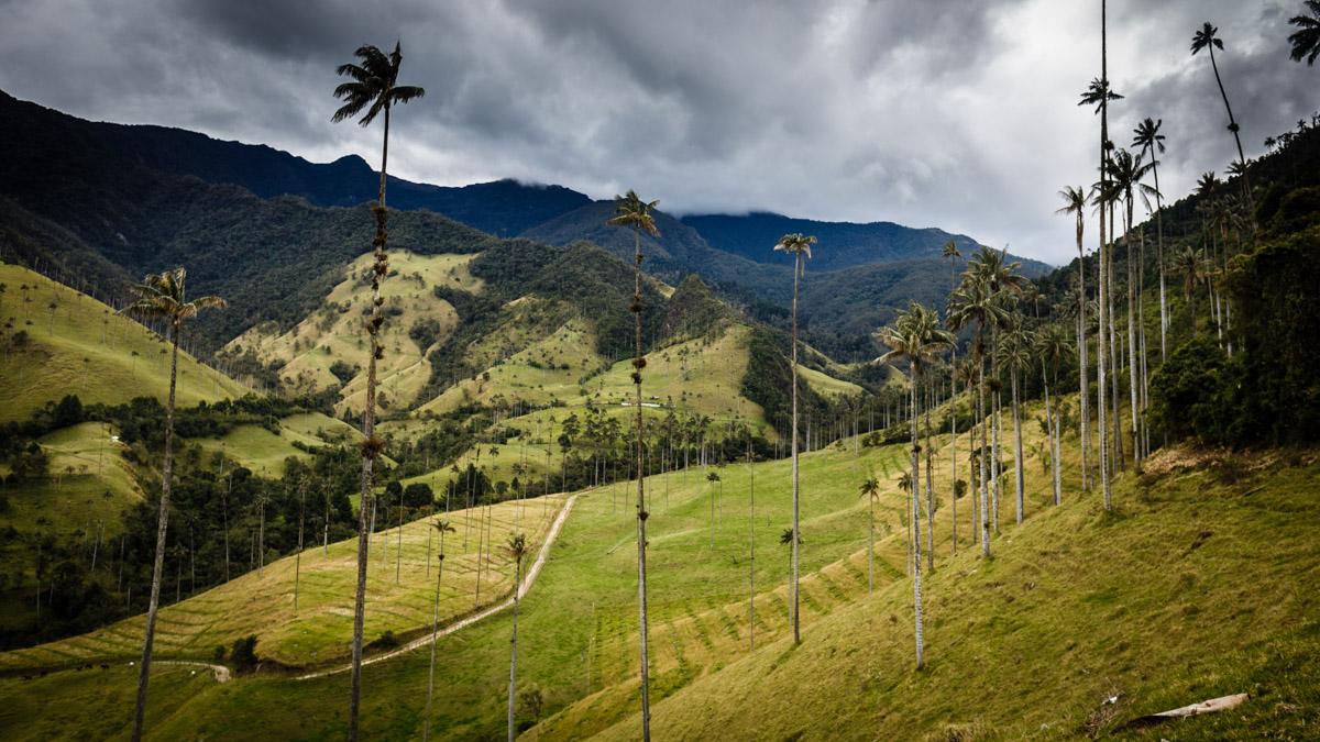 Гигантские пальмы долины Кокора